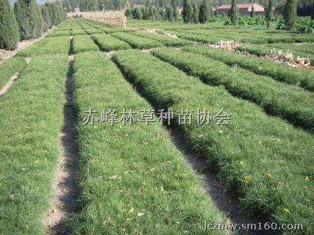 【油松小苗】花木,果木种苗批发价格,厂家,图片,采购