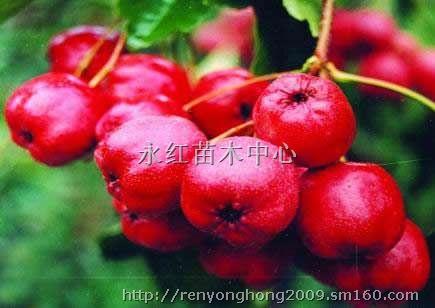 3-8公分 樱桃树, 苹果树,桃树,杏树,山楂树,柿子树,国槐树 ,黄金