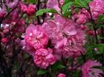 供应定州花灌木榆叶梅