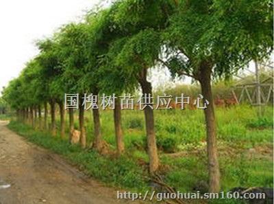12公分优质国槐树苗多少钱一棵