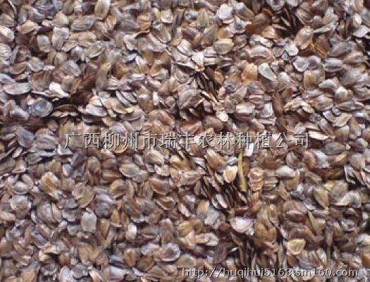 【大量供应柳州新产杉树种子50吨】含油子仁,果仁,籽