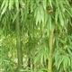 供应橄榄竹(江南竹)少穗竹唐竹四季竹苦竹白哺鸡竹乌哺鸡竹