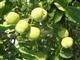 供应青皮核桃 苹果
