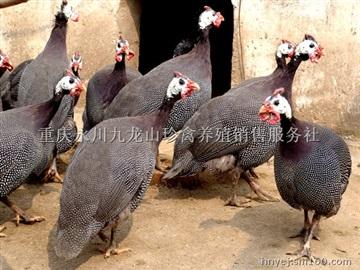 重庆珍珠鸡养殖,重庆珍珠鸡销售,重庆珍珠鸡苗批发