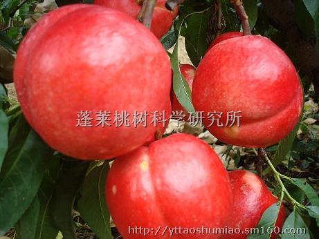 【优质桃树苗】花木,果木种苗批发价格