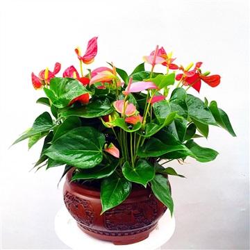 紅掌-合肥花卉銷售-合肥綠植租擺-合肥租花公司