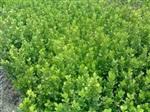 平价河北定州灌木小叶黄杨