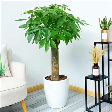 單桿發財樹-合肥花卉租賃