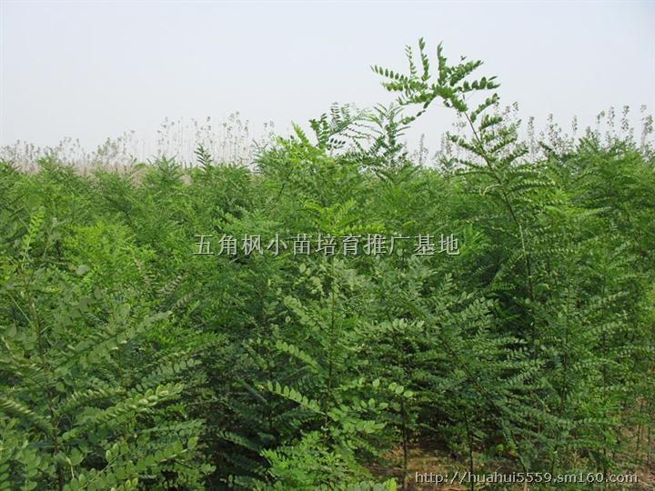 国槐快速育苗技术_国槐栽培技术 国槐树形好、寿命长、材质硬、适应性强,槐米经济价值高,是我国北方城市道旁、庭院及四旁植树的一个好树种。2000年2002年,我们连续进行了育苗,面积60公顷,当年苗高即达到1.5米2.2米,平均苗高1.75米,每亩出苗6000株左右,2米以上的苗占48.