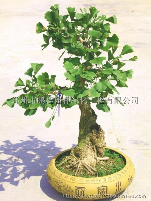 【银杏盆景】花木,果木种苗批发价格,厂家,图片,采购