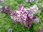 低价供应河北定州优质苗木紫丁香