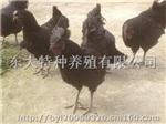 供應貴州烏骨雞苗/貴州烏骨雞養殖/貴州烏骨雞苗批發