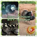 浙江火鸡苗-贝蒂纳火鸡苗-养殖成本低