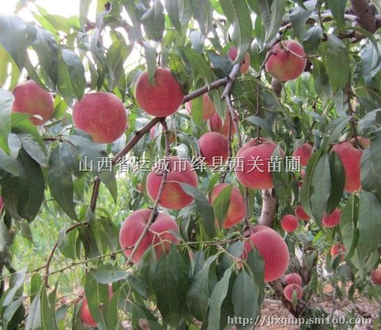 4公分樱桃树,枣树,杏树,桃,柿树苗,核桃树占地树