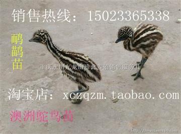 鸸鹋苗,澳洲鸵鸟苗,重庆鸸鹋养殖基地