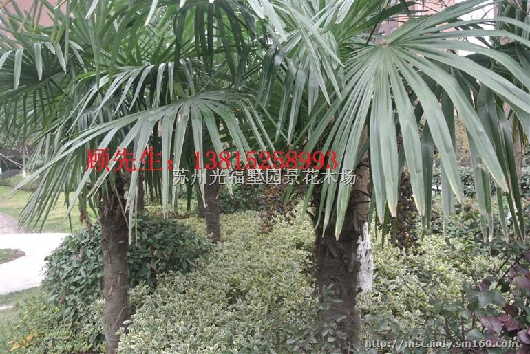 苏州花木市场,造型树古桩盆景,庭院景观绿化