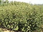 高1米矮化苹果苗价格地径1公分山西运城品种矮化