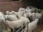 波爾山羊市場價格