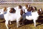 種羊波爾山羊