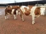 山东肉牛养殖场肉牛养殖效益分析肉牛市场价格肉牛养殖