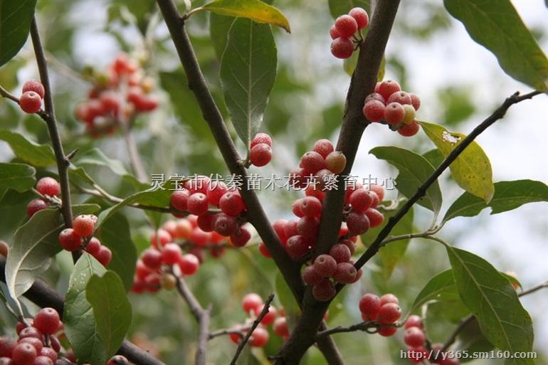 秦岭野生兰花 供应橡树皮 栓皮栎树皮量大 ,橡树苗木工艺红橡树叶量大