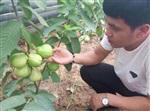 四季开花四季结果新品种水果四季梨