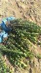 保定大叶黄杨多少钱  保定大叶黄杨基地批发价格