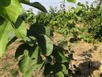 桑葚果樹 桑葚產量 長果桑苗批發