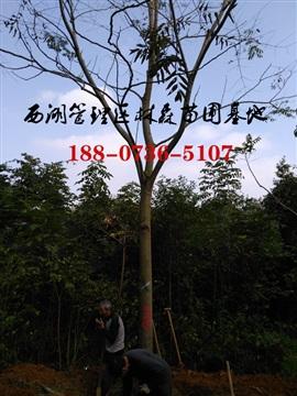 栾树,15公分栾树价格,18-20公分栾树价格