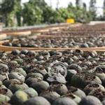 新会陈皮与小青柑普茶加工有生产许可资质