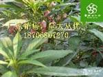 荔枝提取物lychee extract