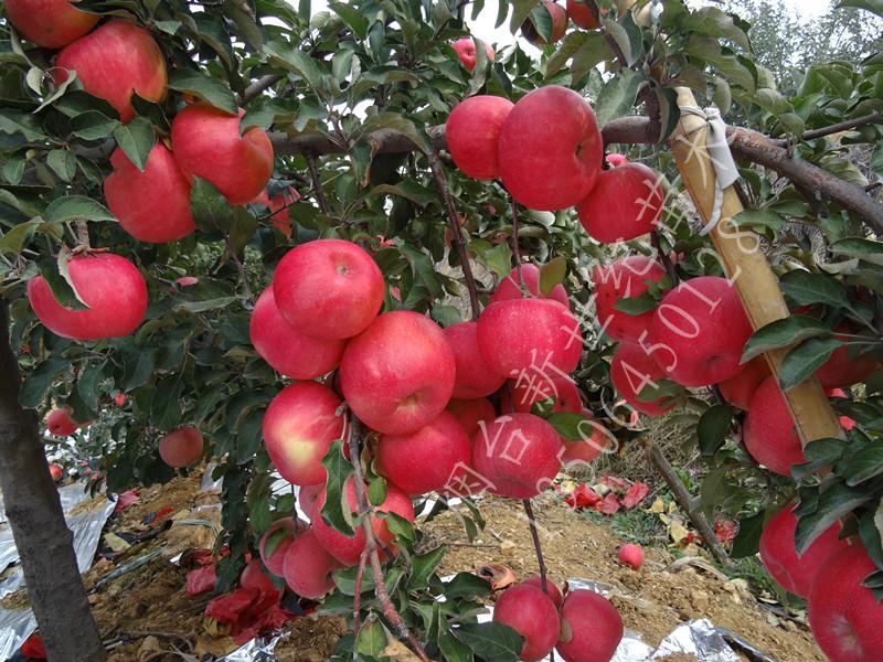 批发新疆1公分烟富0苹果苗 2公分烟富8苹果树